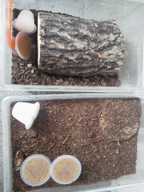 産卵セット